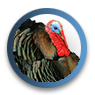 Turkey Hunting Info